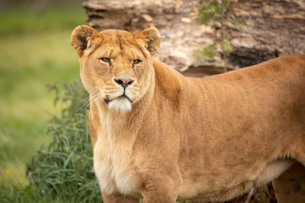 Knowsley Safari is re-opening and you can enjoy a full day of outdoor fun for just £10 per person