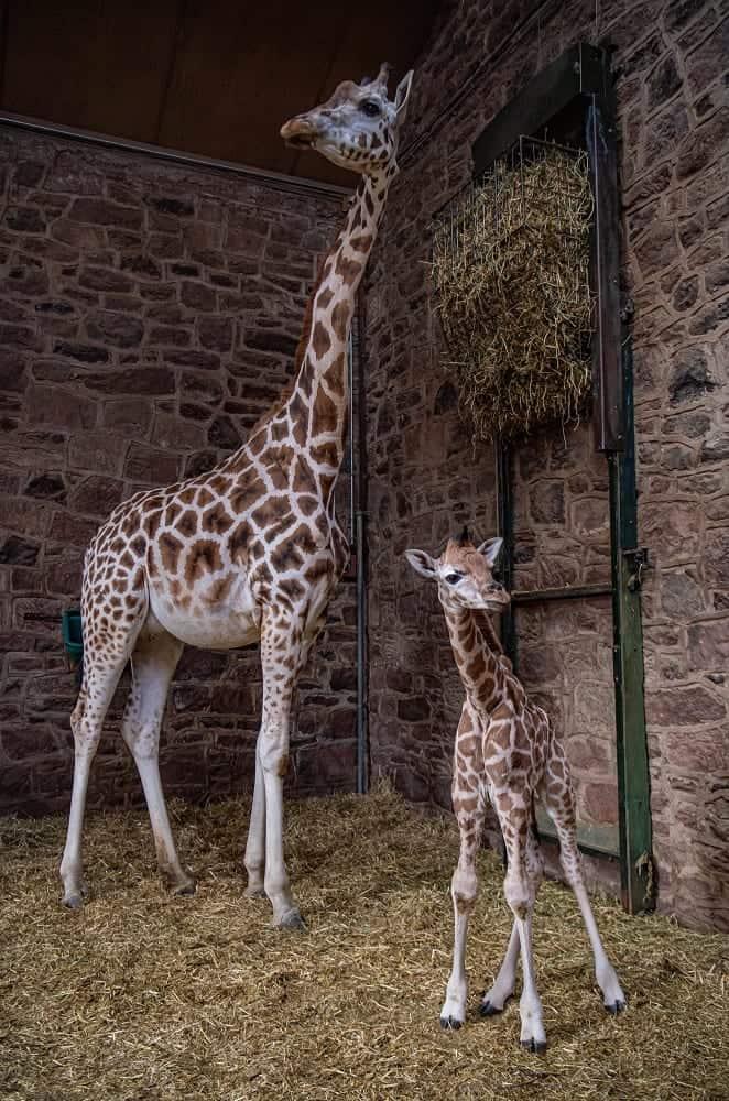 Chester Zoo welcome a new born rare giraffe